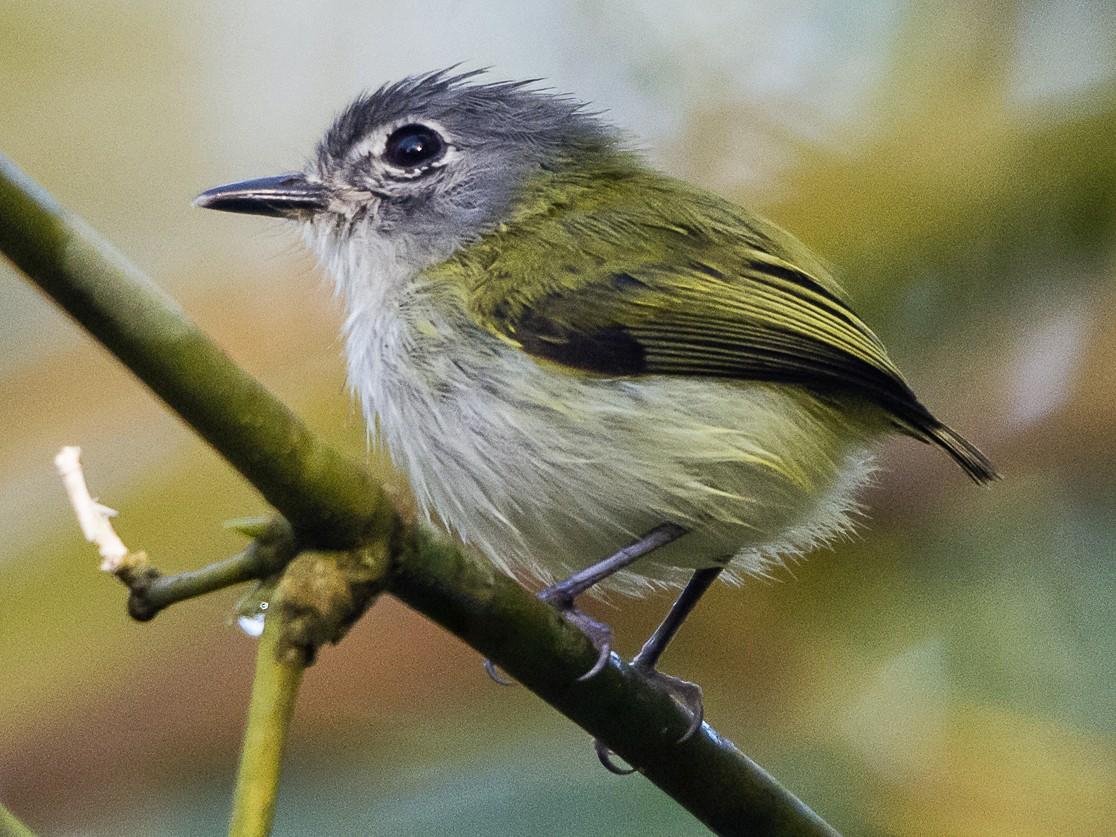 Short-tailed Pygmy-Tyrant - Jerome Foster