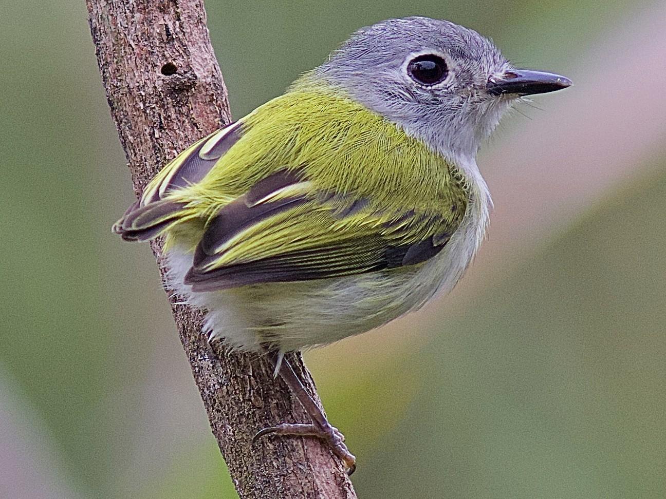 Short-tailed Pygmy-Tyrant - Luiz Matos