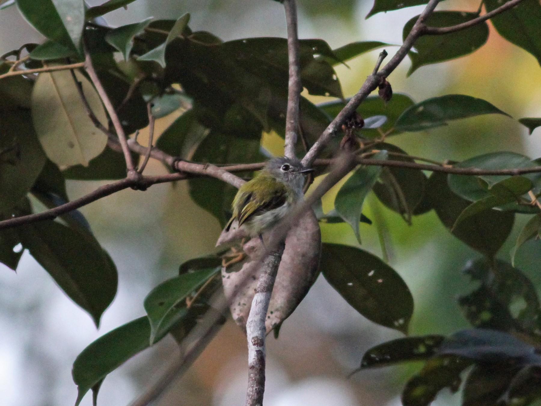 Short-tailed Pygmy-Tyrant - Sarah Toner