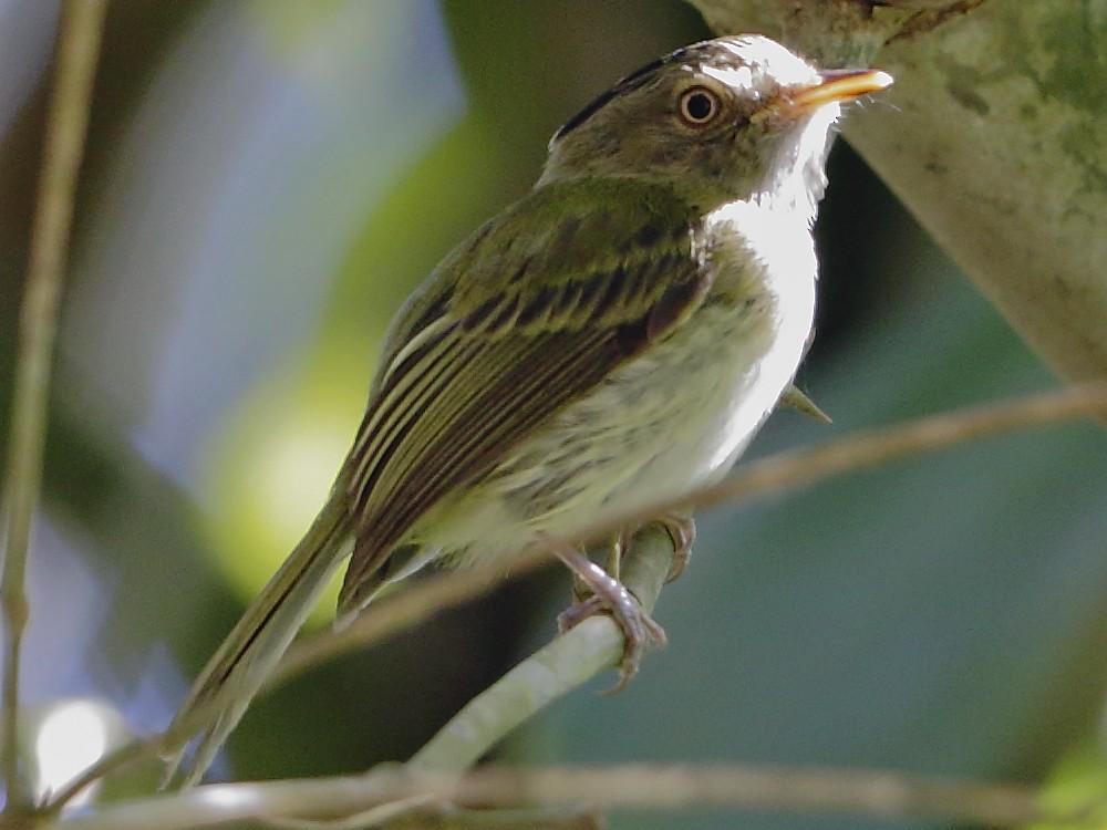 Long-crested Pygmy-Tyrant - Héctor Bottai