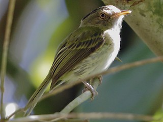 - Long-crested Pygmy-Tyrant