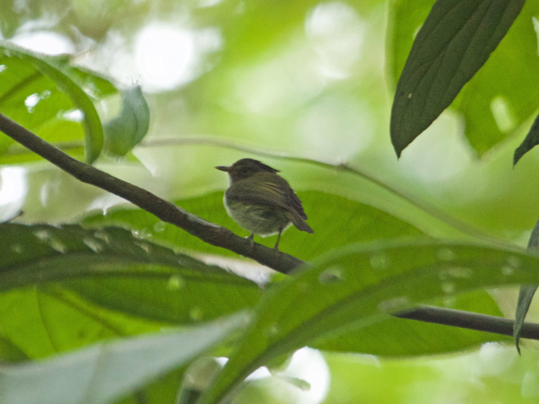 Long-crested Pygmy-Tyrant - Will Sweet