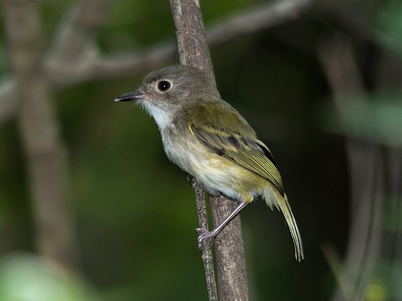 Rusty-fronted Tody-Flycatcher - LUCIANO BERNARDES
