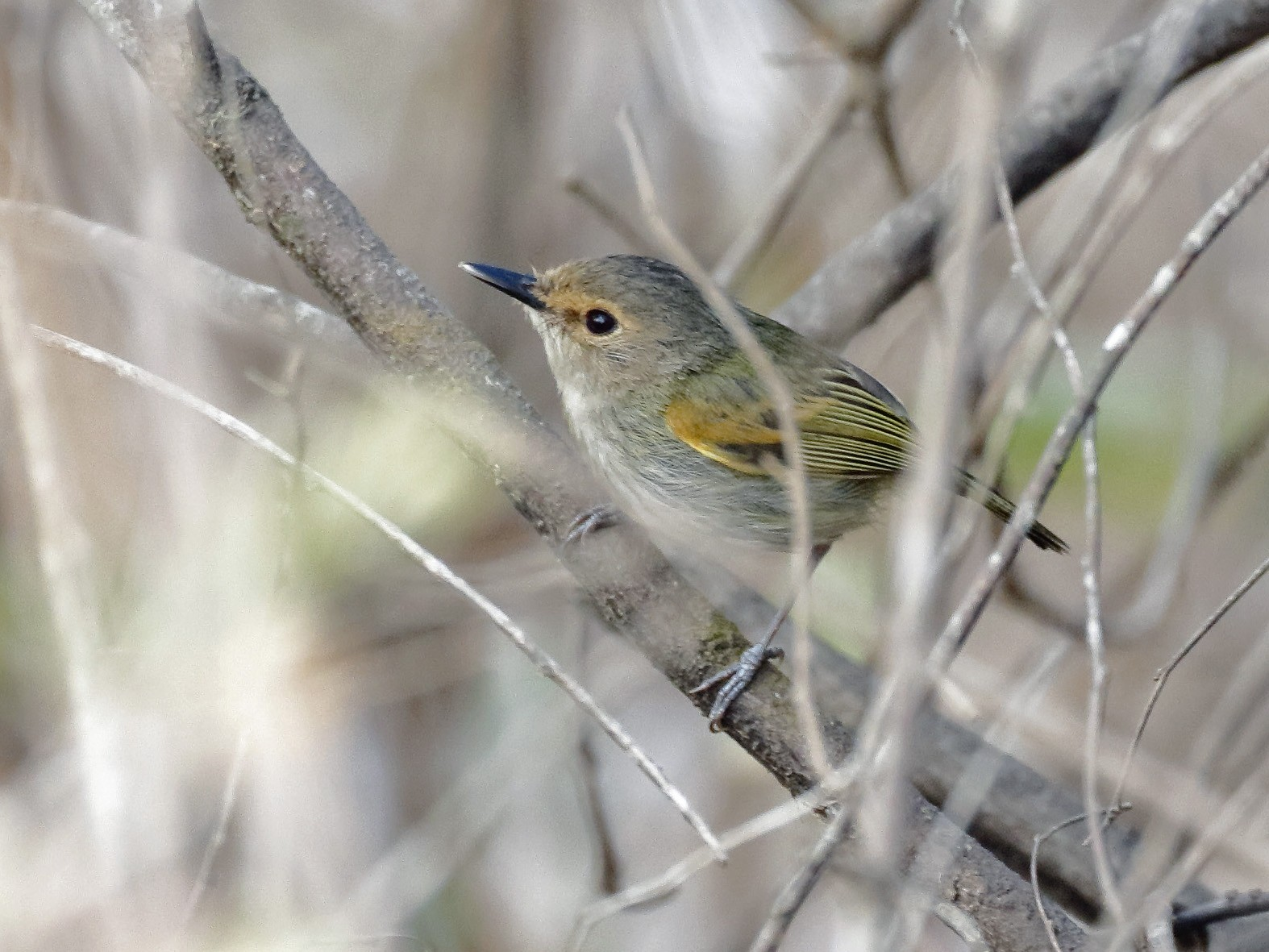 Rusty-fronted Tody-Flycatcher - Dave Curtis