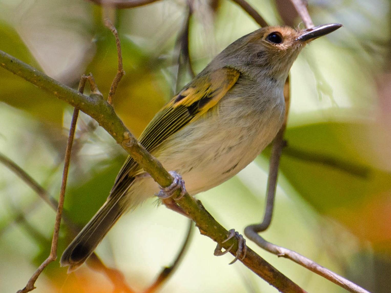 Rusty-fronted Tody-Flycatcher - Marcos  Eugênio Birding Guide