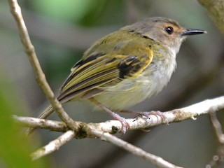 - Rusty-fronted Tody-Flycatcher