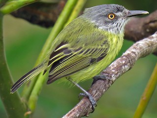 - Spotted Tody-Flycatcher
