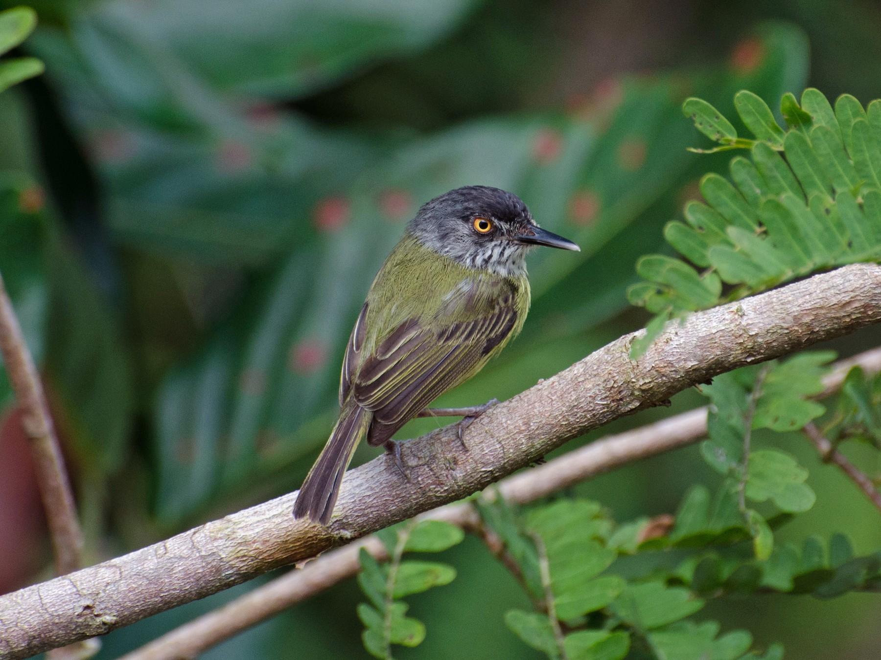 Spotted Tody-Flycatcher - Marcos  Eugênio Birding Guide