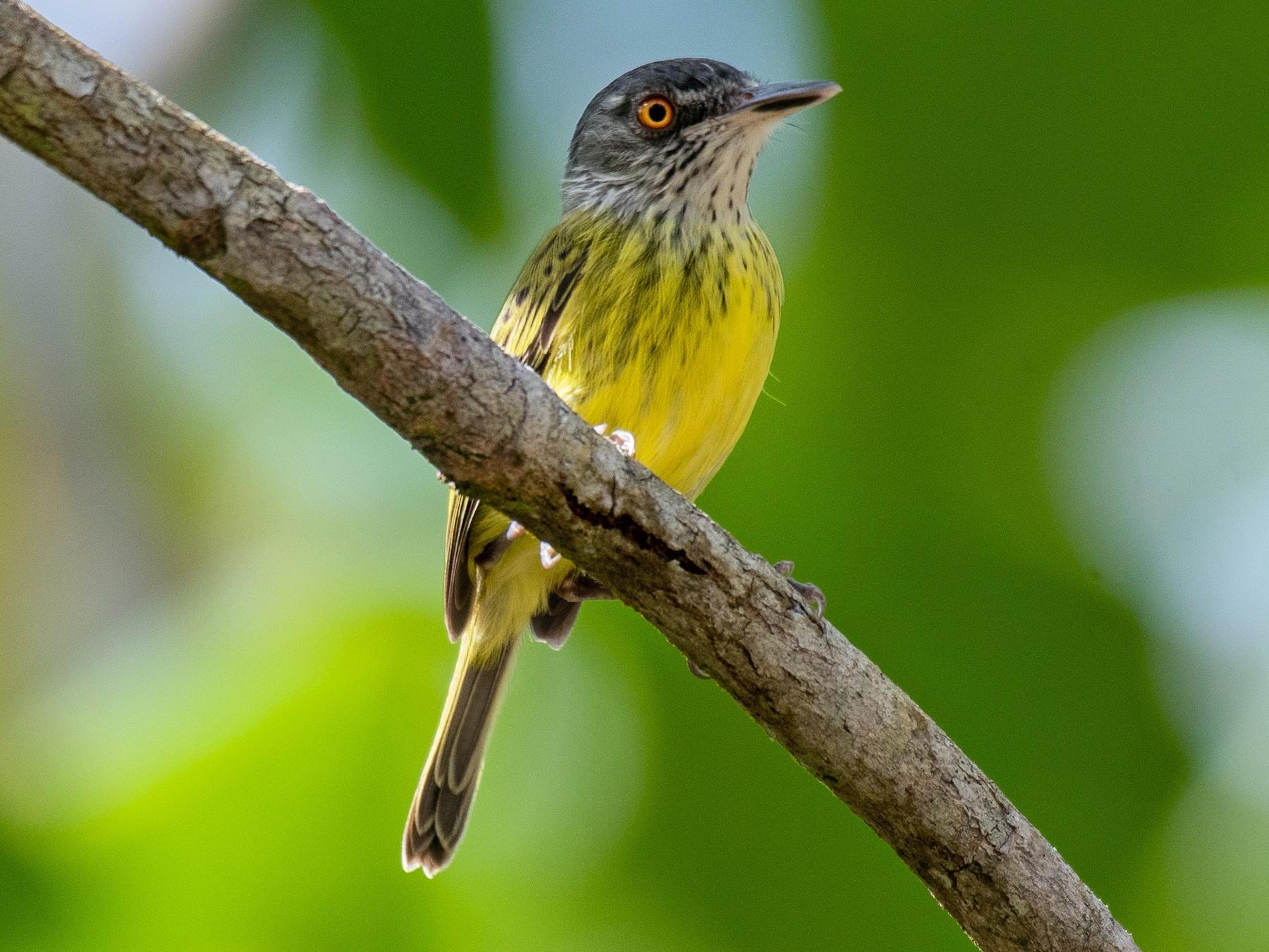 Spotted Tody-Flycatcher - Victor Castanho
