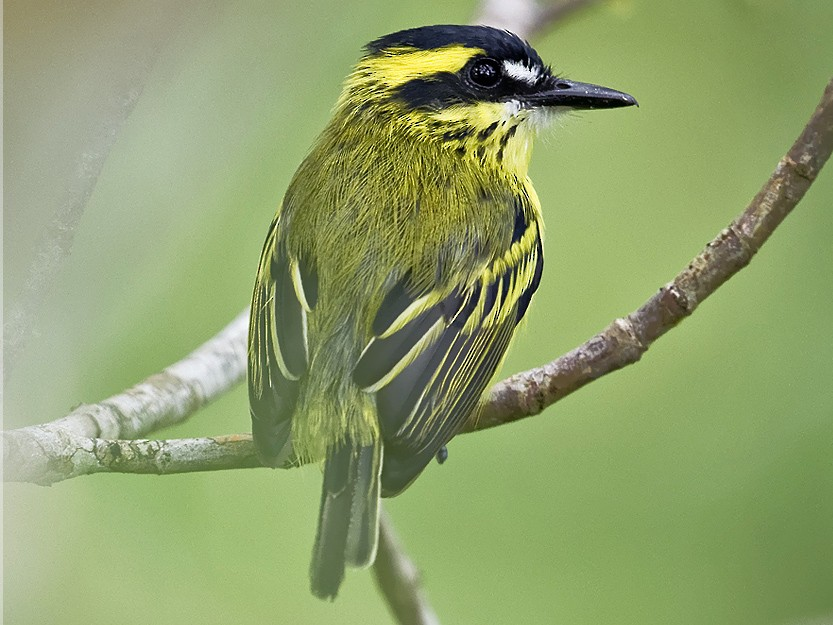 Yellow-browed Tody-Flycatcher - Sandy Mico