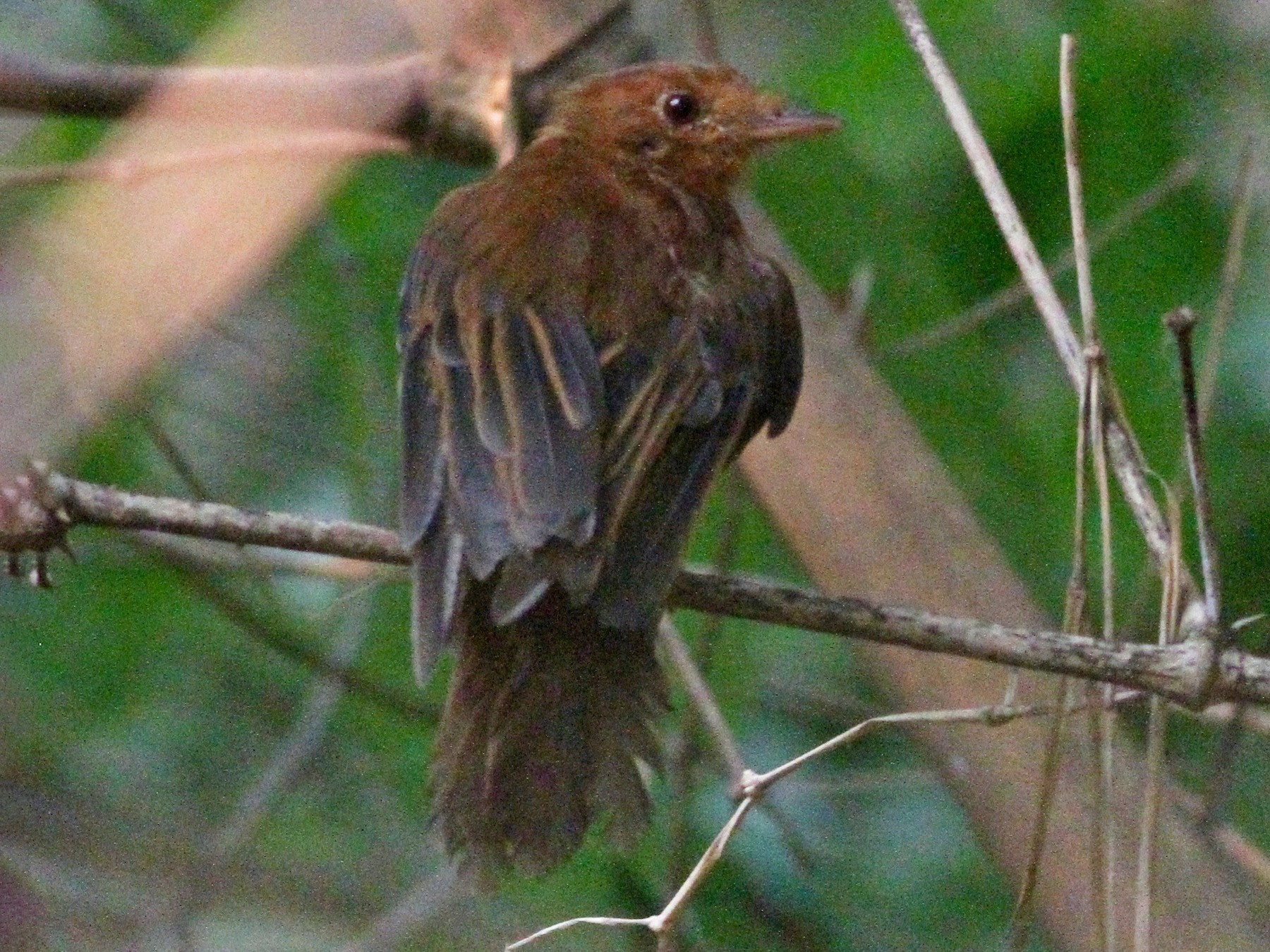 Rufous Twistwing - Alex Wiebe