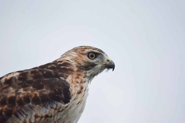 Red-tailed Hawk (borealis)