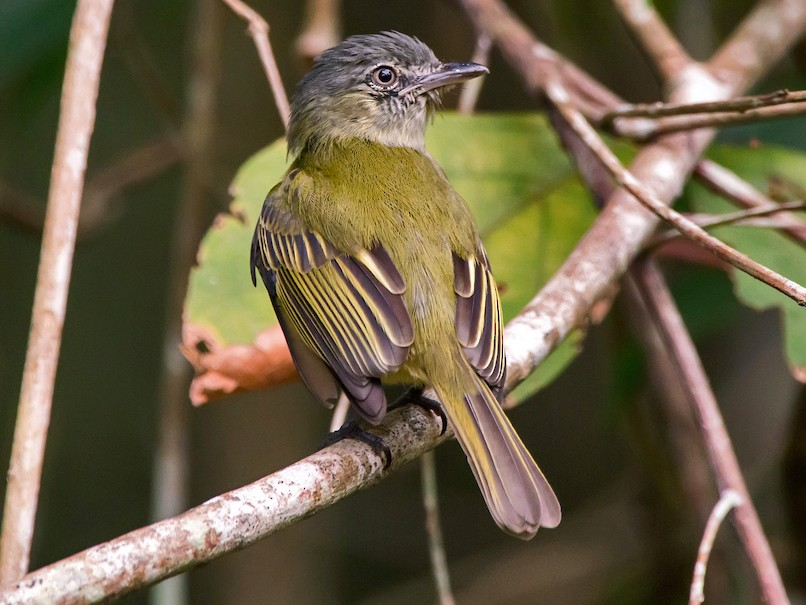 Gray-crowned Flycatcher - Leonardo Merçon / Instituto Últimos Refúgios