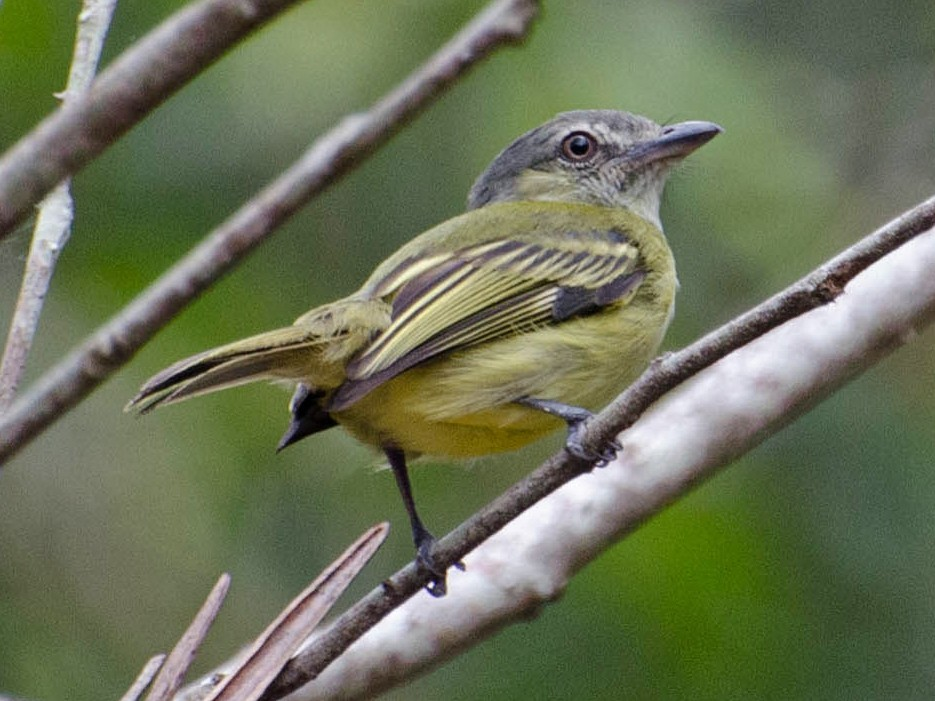 Gray-crowned Flycatcher - Marcos  Eugênio Birding Guide