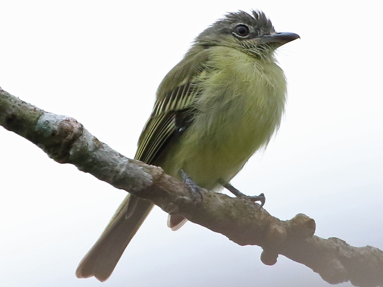 Gray-crowned Flycatcher - David Bird