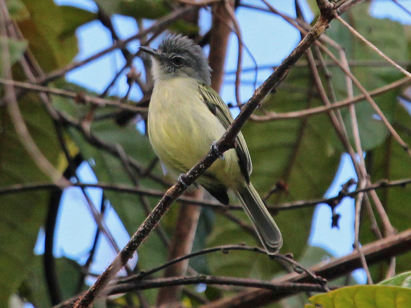 Gray-crowned Flycatcher - Alexander Lees