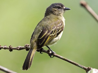 - Slender-footed Tyrannulet