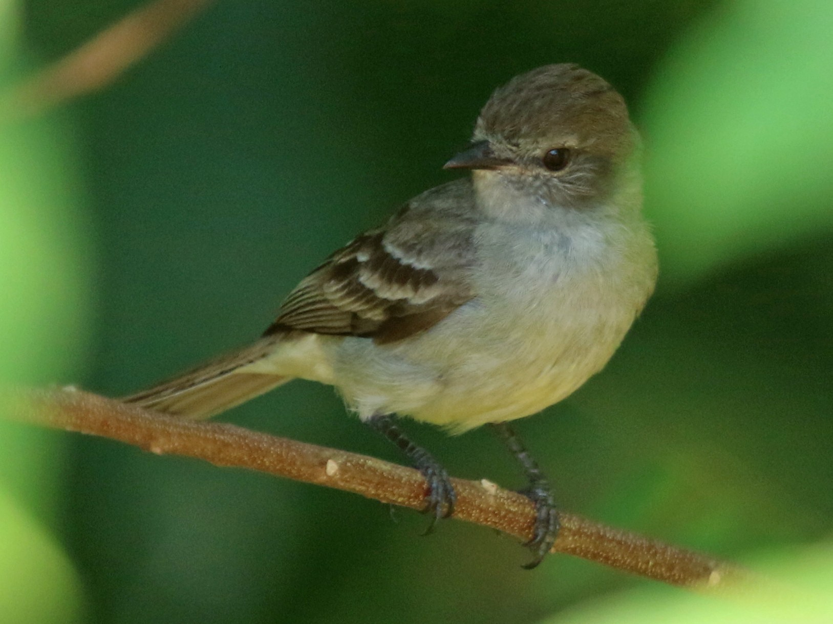 Amazonian Scrub-Flycatcher - Thompson Ian