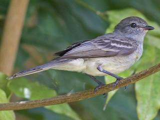 - Amazonian Scrub-Flycatcher