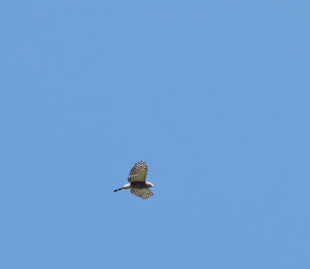 Double-toothed Kite