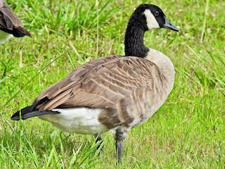 Canada Goose, ML173867661
