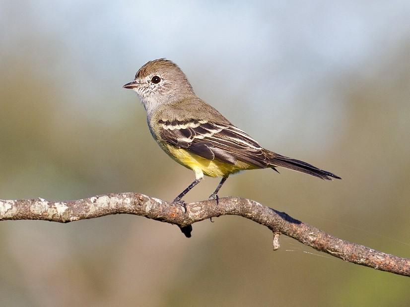 Southern Scrub-Flycatcher - Horacio Luna