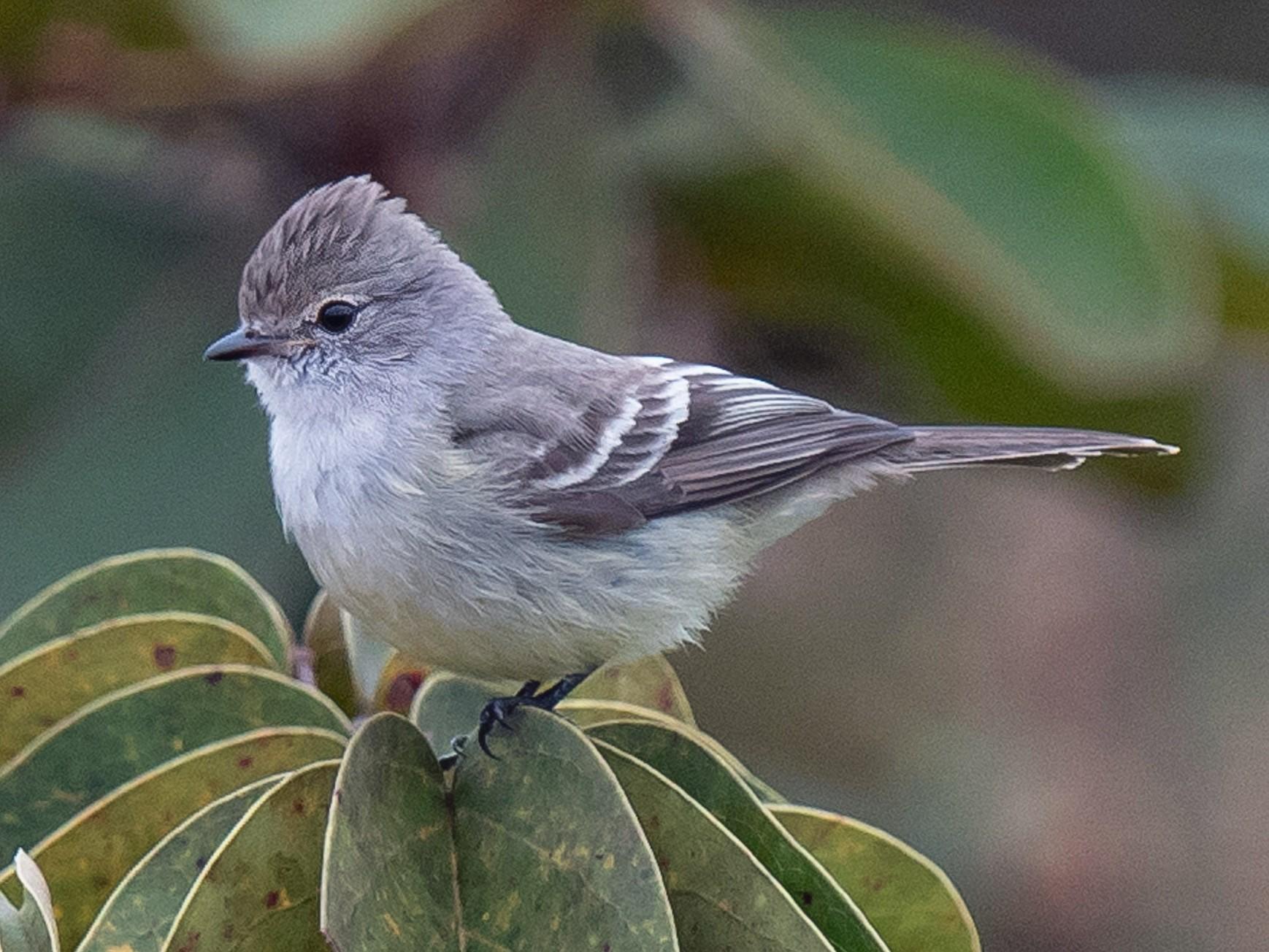 Southern Scrub-Flycatcher - Hudson - BirdsRio