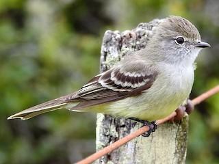 - Southern Scrub-Flycatcher