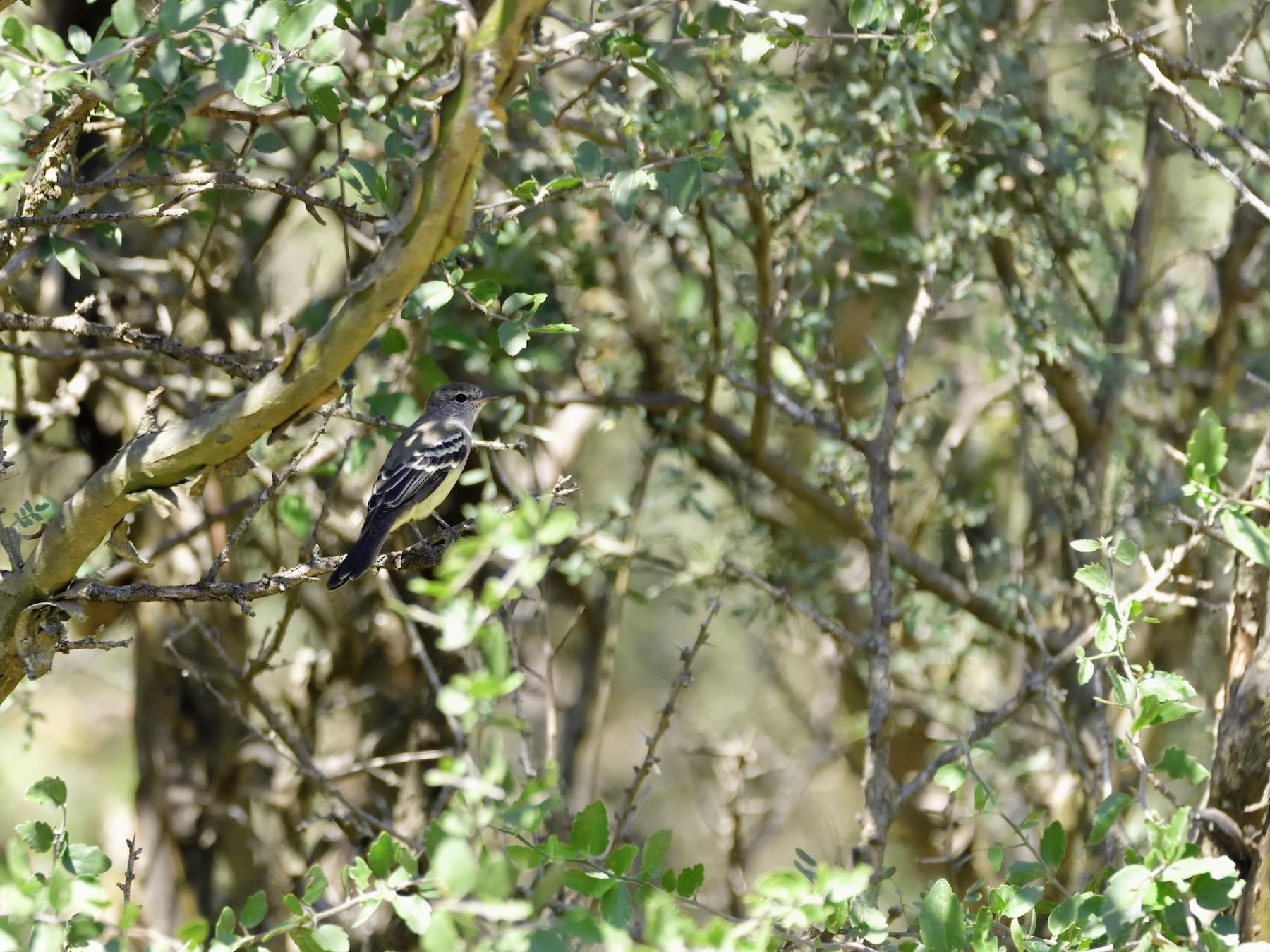 Southern Scrub-Flycatcher - Miguel  Ansenuza