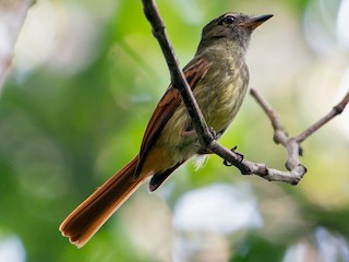 - Rufous-tailed Flatbill