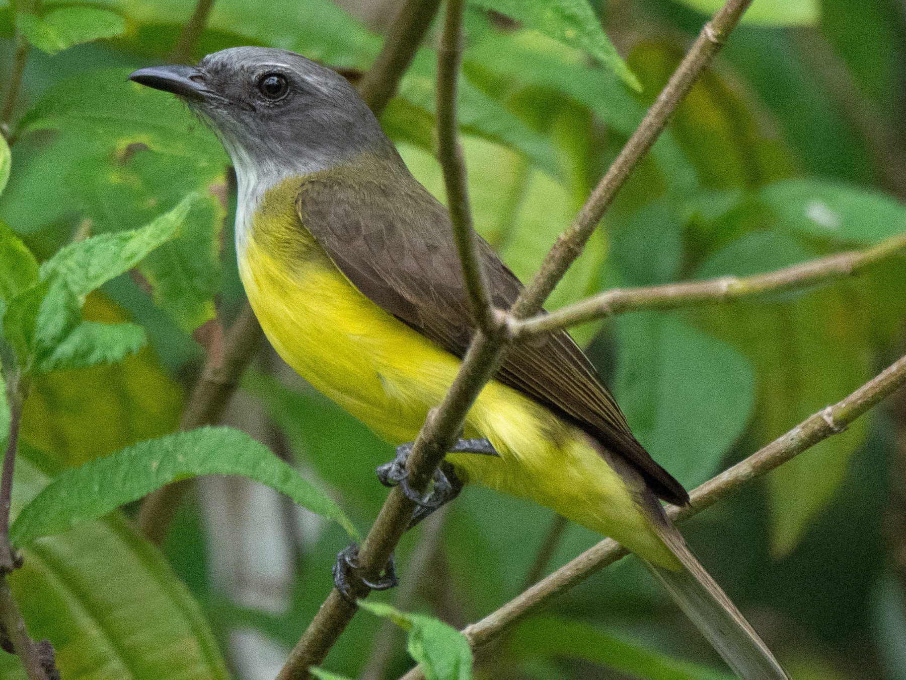 Sulphury Flycatcher - Louisa Evers