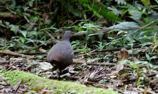 Brown Tinamou (Brown)
