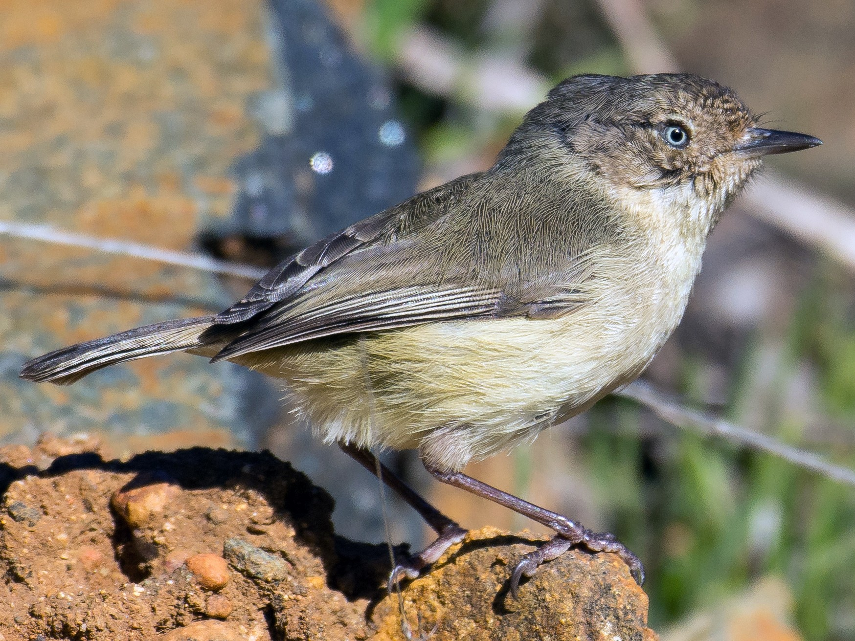 Western Thornbill - Christine  Chester