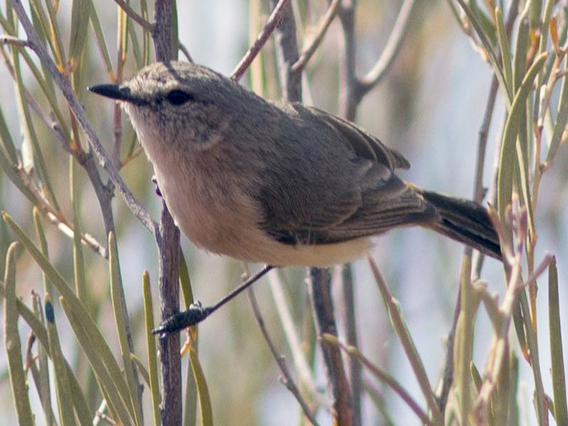 Slaty-backed Thornbill - Richard and Margaret Alcorn