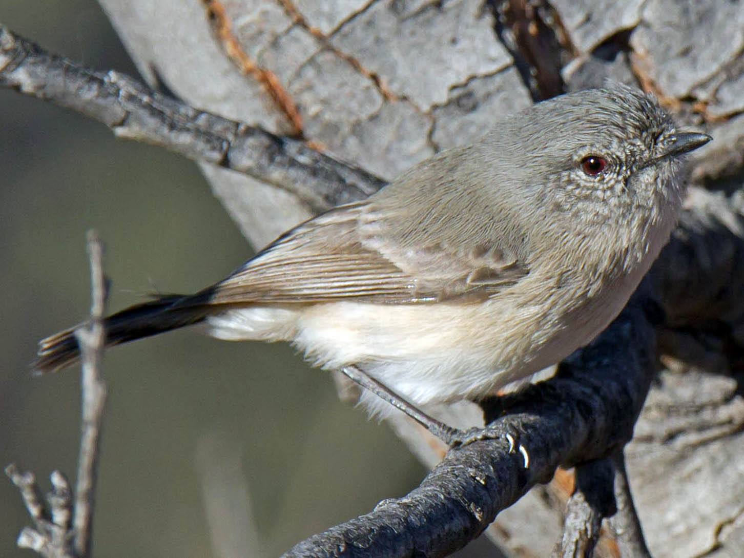 Slaty-backed Thornbill - Martin and Penny Potter