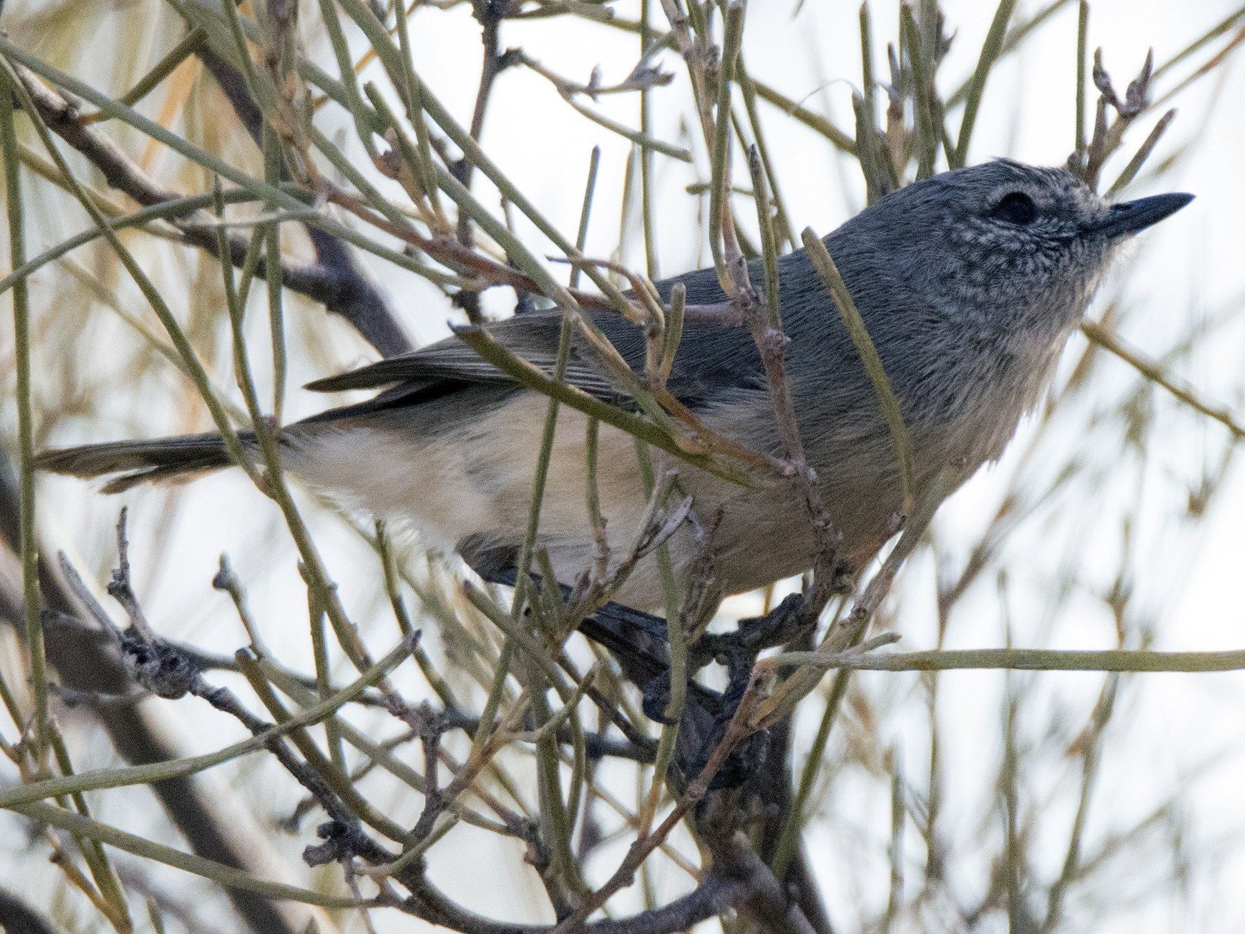 Slaty-backed Thornbill - John Cantwell