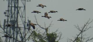 Wandering Whistling-Duck, ML174318321
