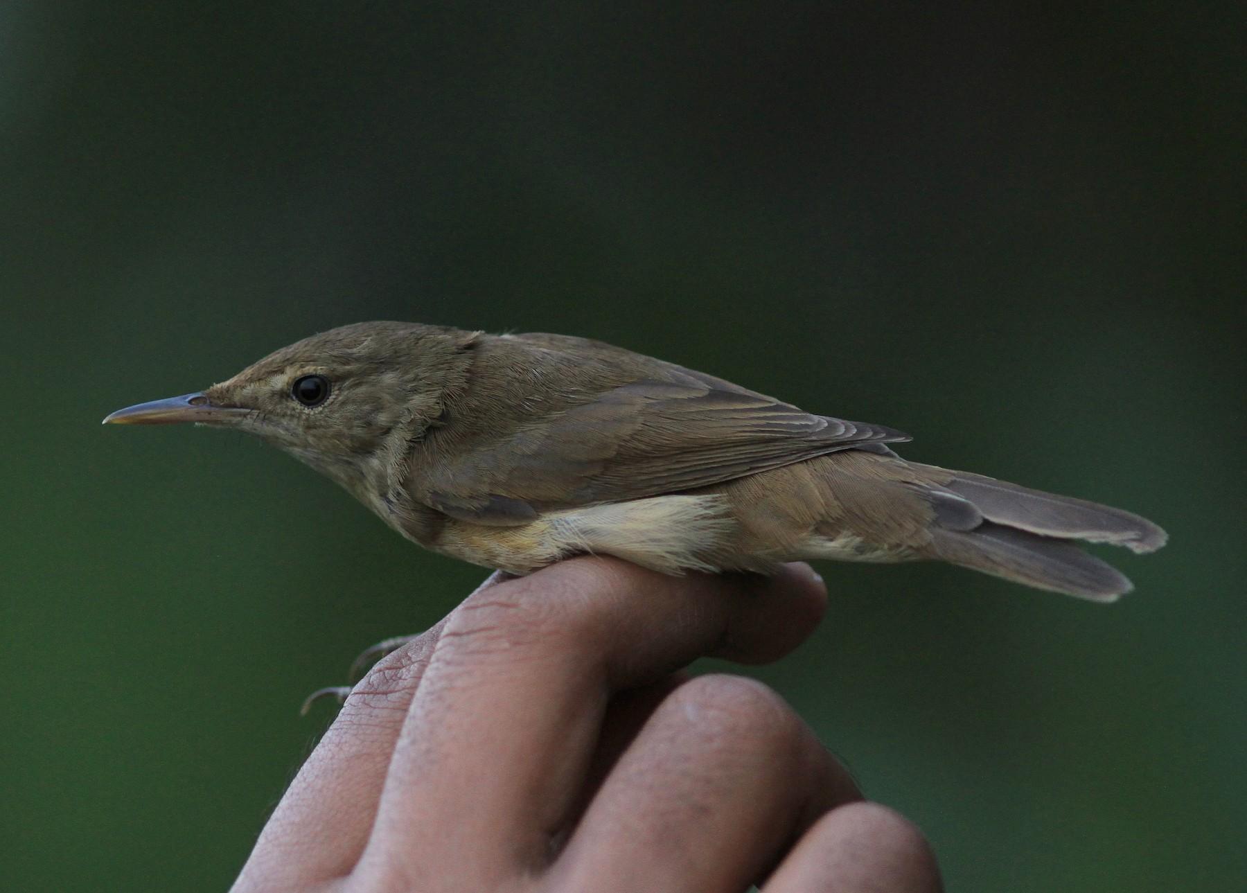 Large-billed Reed Warbler - Sayam U. Chowdhury