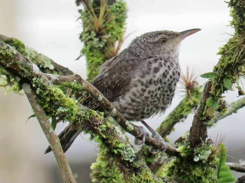 Thrush-like Wren - Barbara Thomascall