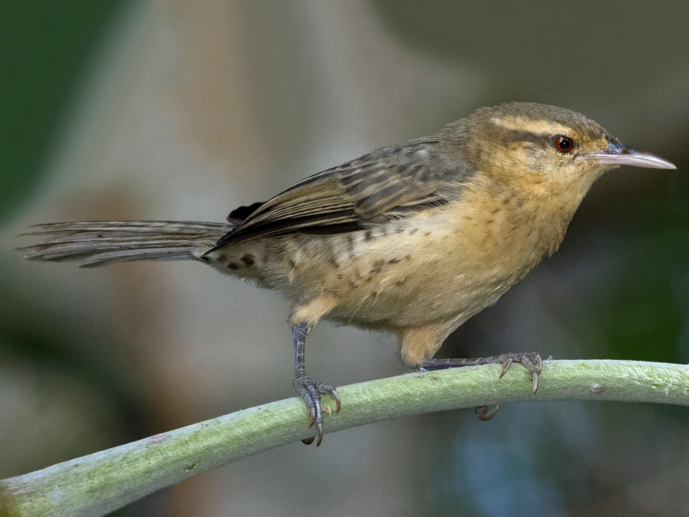 Thrush-like Wren - Marcelo Allende