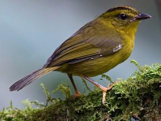 - Golden-bellied Warbler (Choco)