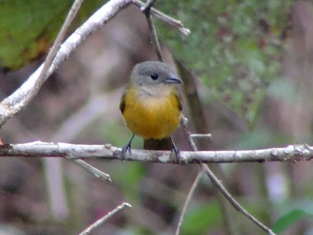 Yellow-crested Tanager - Daniel Lane