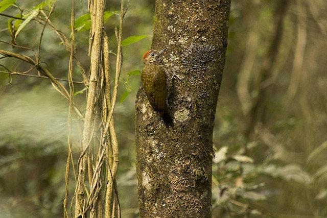 Dot-fronted Woodpecker