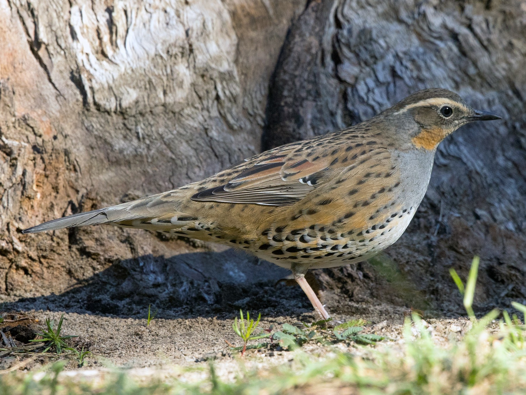 Spotted Quail-thrush - David Irving