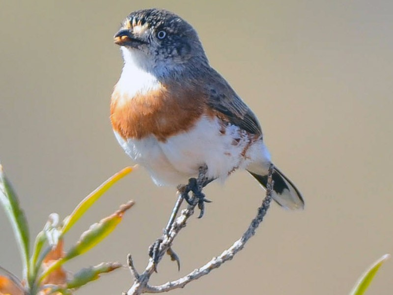 Chestnut-breasted Whiteface - Greg McKay