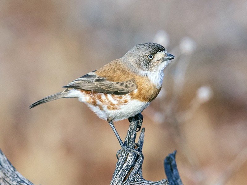 Chestnut-breasted Whiteface - Laurie Ross | Tracks Birding & Photography Tours