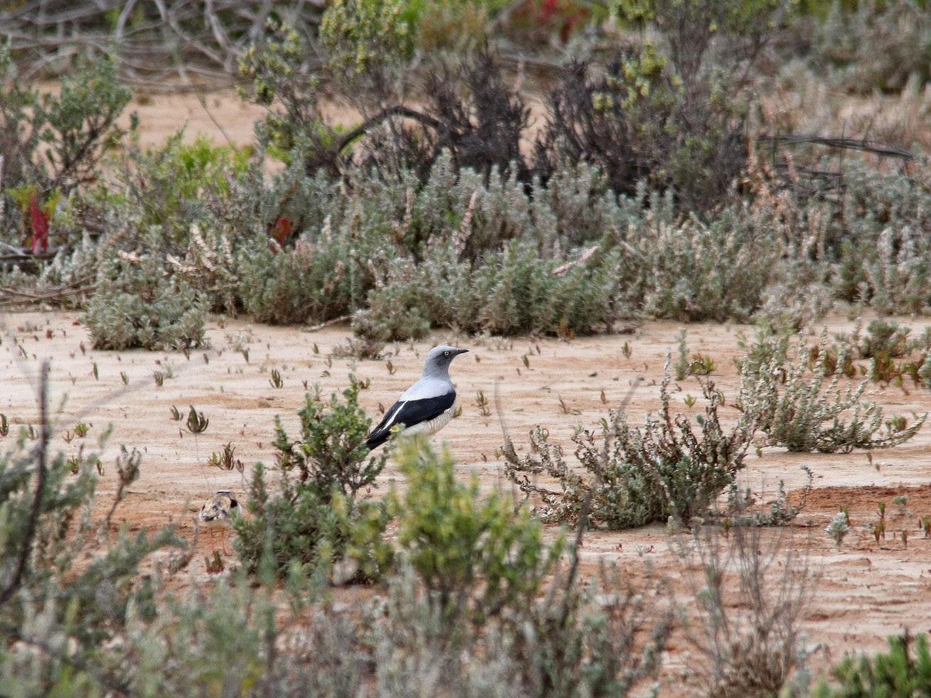Ground Cuckooshrike - Ross Jones