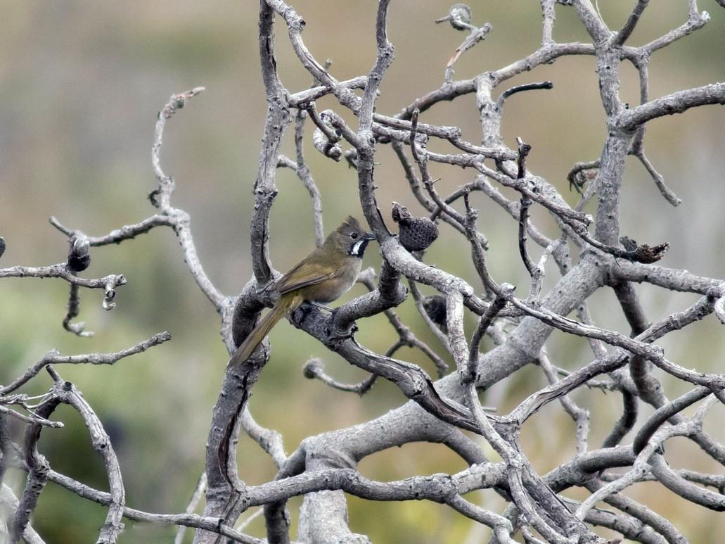 Western Whipbird - Tom Johnson