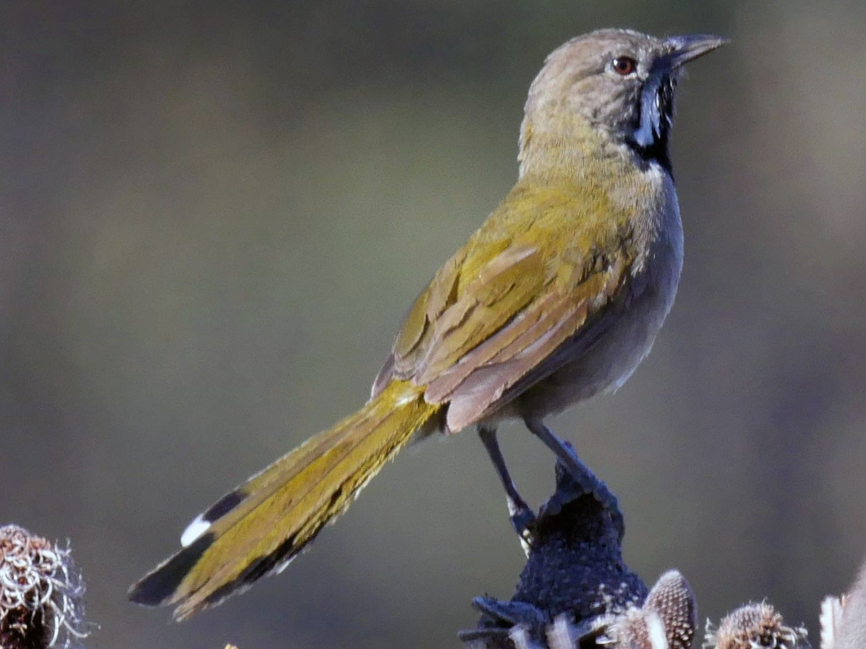 Western Whipbird - Dan Pendavingh