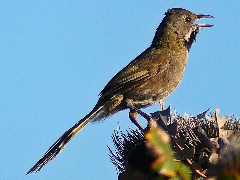 Western Whipbird - Andy Walker - Birding Ecotours
